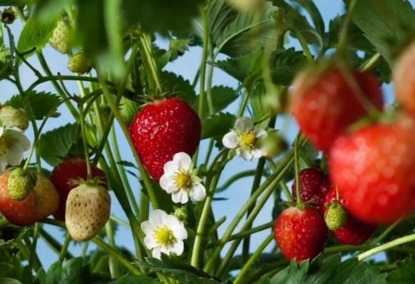Посадка ягодников